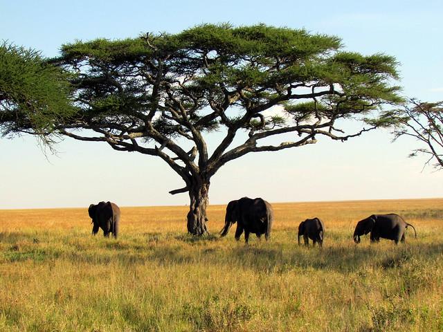 Elephants - Serengeti National Park safari - Tanzania, Africa