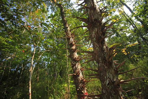 Mon, 11/26/2007 - 10:52 - 50 hectar permanent vegetation plot of the CTFS network. Plot is located in the Huay Kha Khaeng Wildlife Sancuary in the West of Thailand.