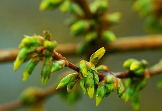 forsythia buds about to pop!   by naturalflow