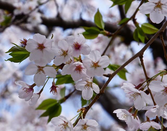 Sakura/Cherry Blossoms in Iriya, Tokyo