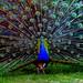 Peacock by Palócz Pál