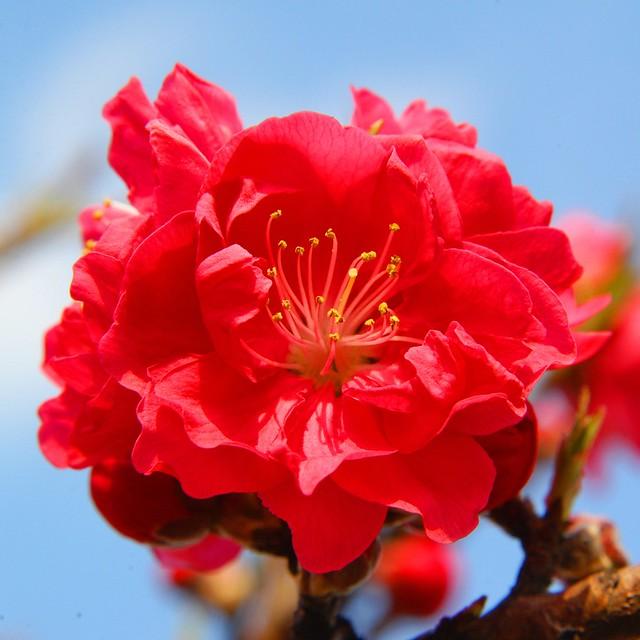 Shanghai - Red Peach Blossom