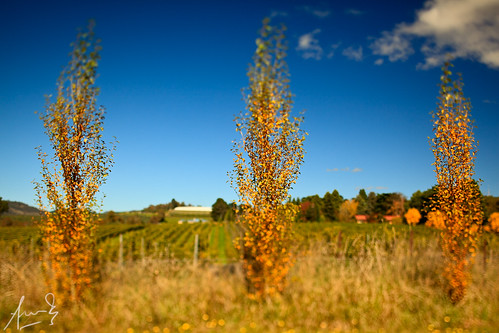 autumn trees orange fall colors colours bokeh winery vineyards nsw shallowdof tiltshift centraltablelands canontse45mmf28 canon5dmark2 canon5dmarkii singhrayvarinduo