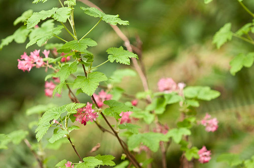 Red-flowering currant (Ribes sanguineum) | by Holy Outlaw