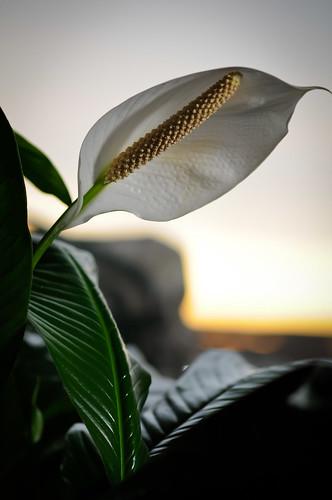 morning greenleaves sunrise whiteflower dof houseplant spathe peacelily spadix lightsphereii nikon105mm sb600speedlight shinyleaves nikkor105mmf28gvmicro clouddiffuser nikond300s