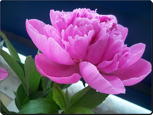 My today's flower-Mai virágom