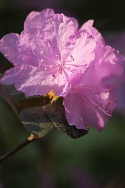 MAP1459.RhododendronBouquet