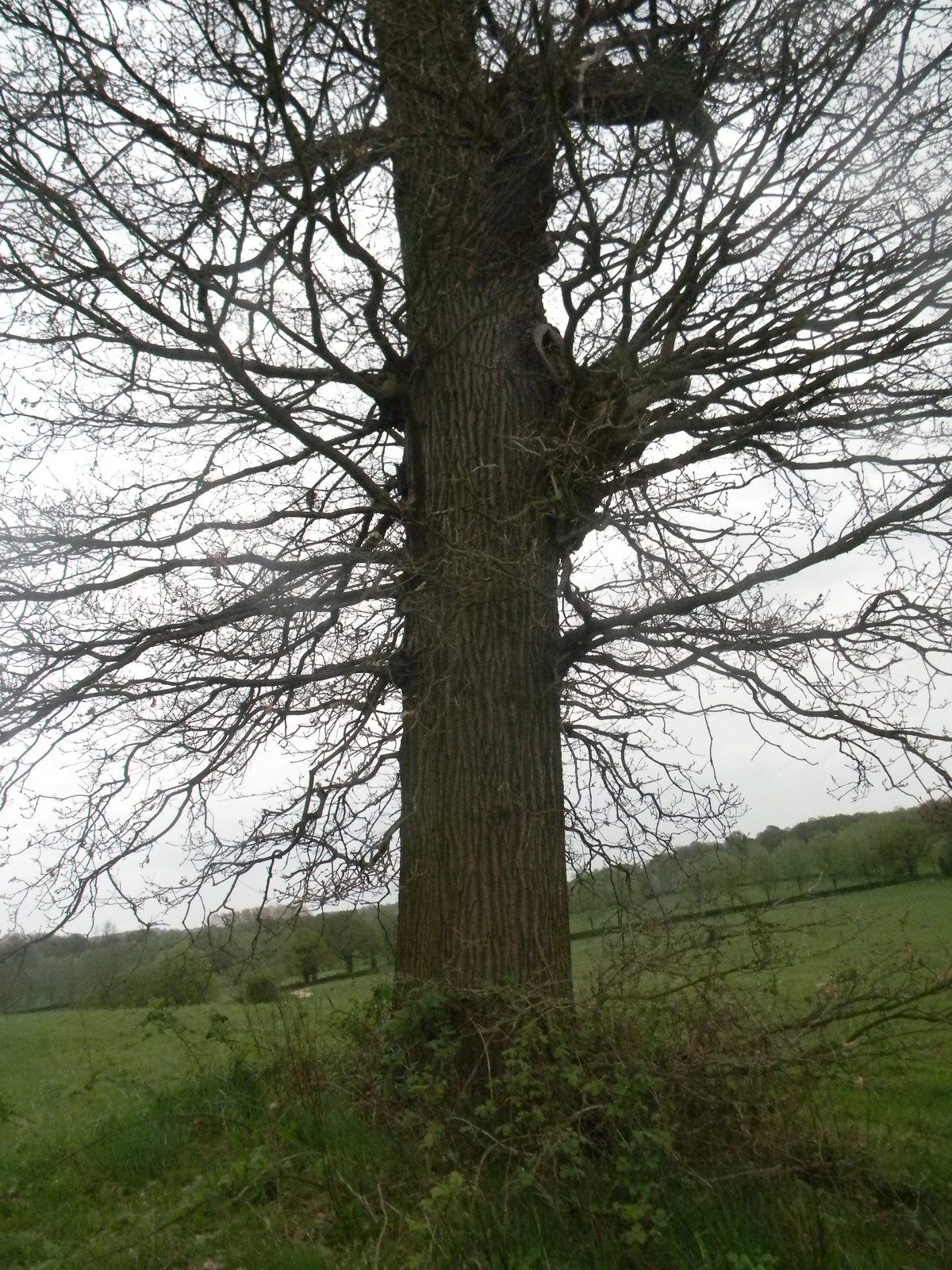 Spiky tree Yalding to Sevenoaks
