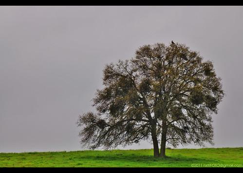 california ca travel foothills tree green grass northerncalifornia catchycolors photography spring oak nikon gloomy hawk windy overcast rainy nikkor westcoast valleysprings calaverascounty d90 loneoak tc17eii afs70200mm nxtrfoto nextierphotography