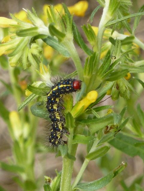 Caterpillar on Many Flowered Puccoon
