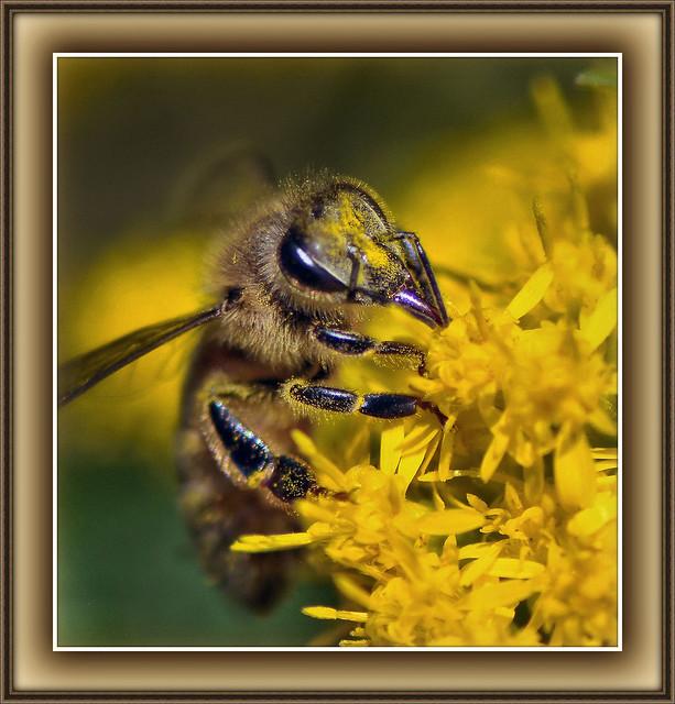 Honeybee's Pollen Cup Runneth Over