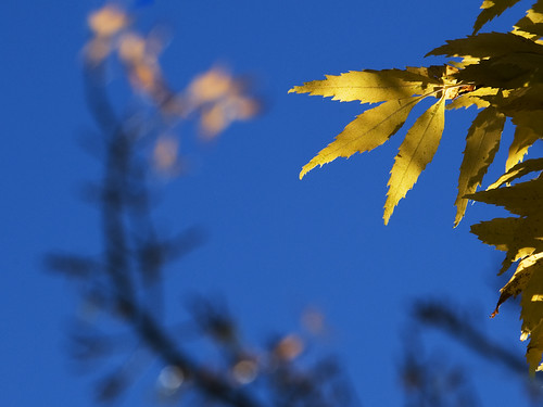 blue autumn sky fall colors beautiful leaves yellow bravo colours nz otago dunedin lovely aotearoa yellowonblue
