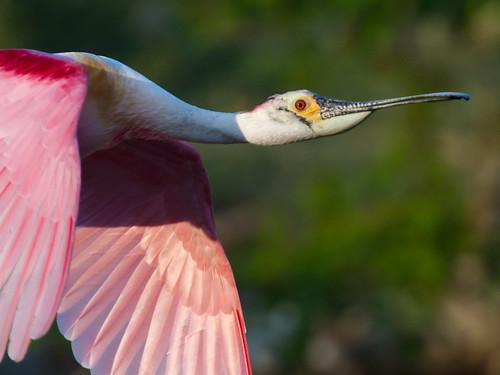 Roseate Spoonbill in High Island Texas | by Dan Pancamo