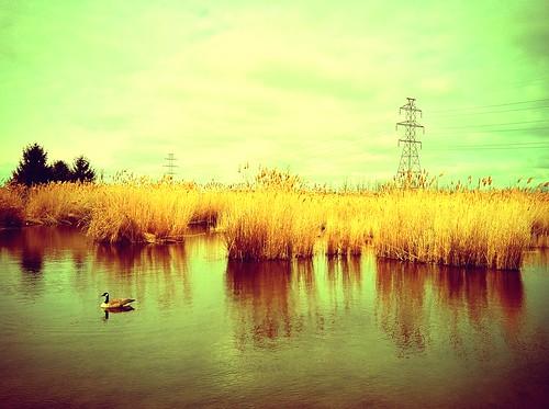 geese wetland