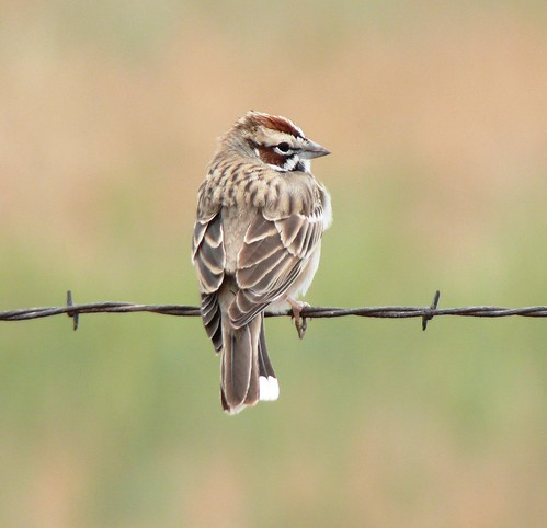 Lark Sparrow (Chondestes grammacus) | by Victor W. Fazio III