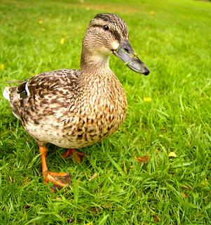 Mallard duck, female | by JeanM1