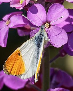 orange tip male | by Brian Wadie Photographer