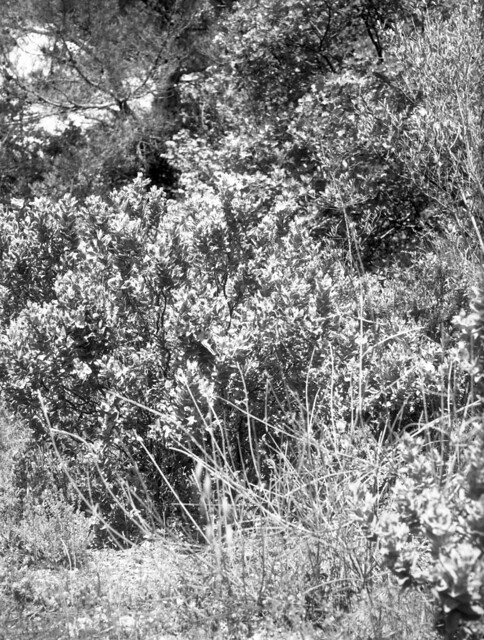 5196.Cist fluffy flower_Large Format.