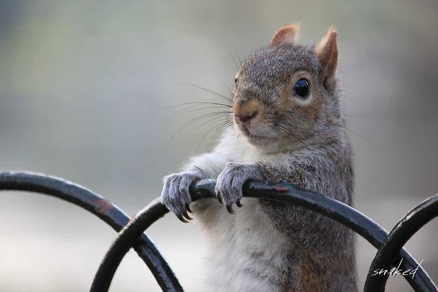 Squirrel @ St James's Park