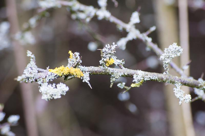 Lichen on a budding blackthorn branch