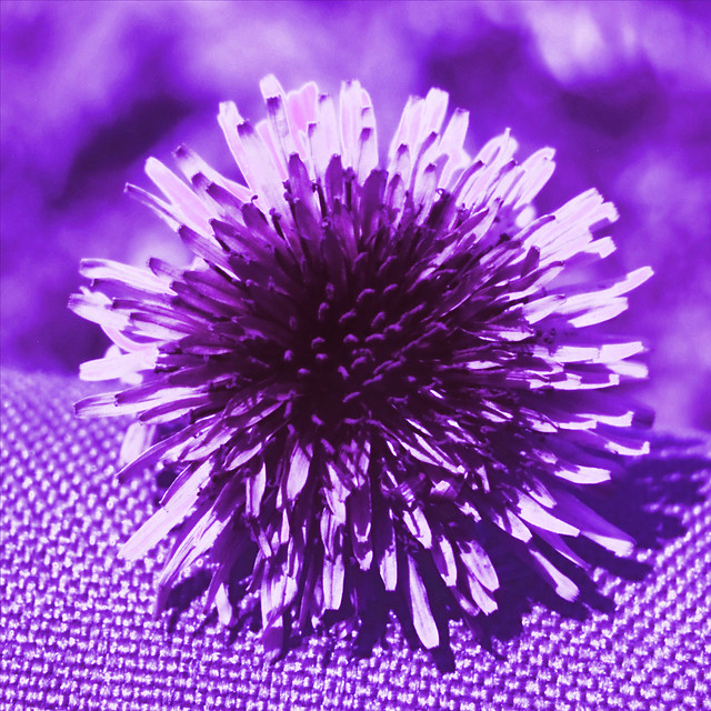 Dandelion seen in ultraviolet