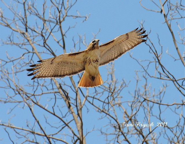 Red-tailed Hawk soaring . . .