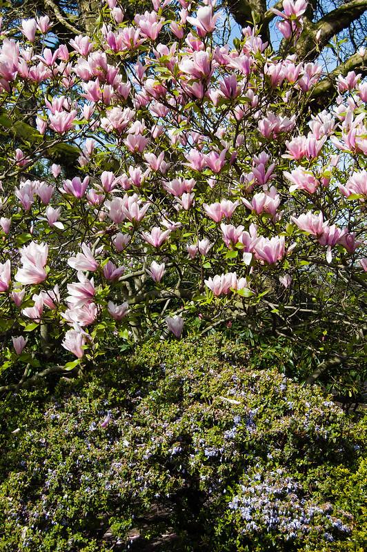 Japonica and azalea flowers