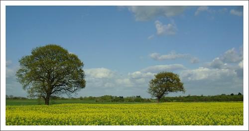 blue trees sky yellow april picnik oilseedrape