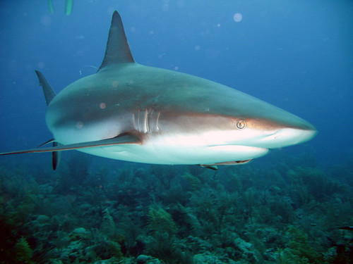 Caribbean Reef Shark | by sharkdefenders