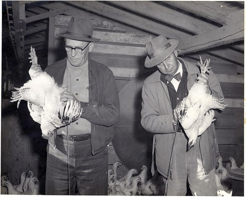 blackandwhite chickens chicken 1930s delaware oceanview chickenhouse blackandwhitephoto sussexcounty sussexcountyde oceanviewde poultryindustry