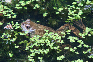 Frog in Pond June2015 | by http://wildaboutthebritishisles.uk