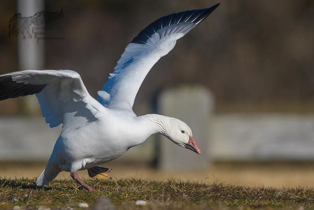 Injured Snow Goose 12_25