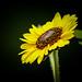 Sunflower by donnieking1811