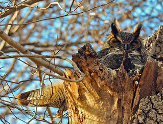 Queens: Great Horned Owl in April | by donna lynn