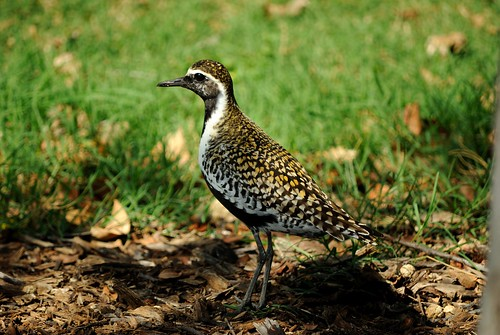 Pacific Golden Plover   by jdnx