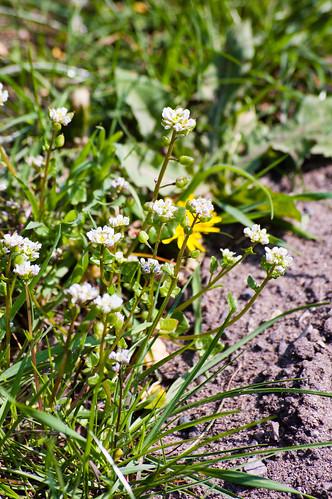 Danish scurvy grass flowering