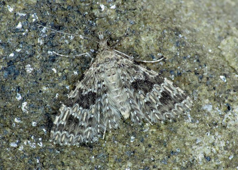 1288 Twenty-plume Moth - Alucita hexadactyla