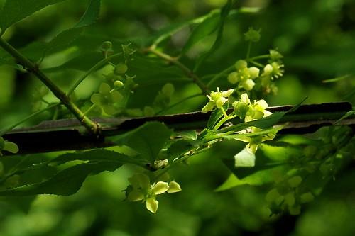 flower green botanical spring pentax connecticut ct k3 2014 devilshopyardstatepark chapmanfalls vbd smcpentaxda40mmf28limited pentaxk3 spring2014