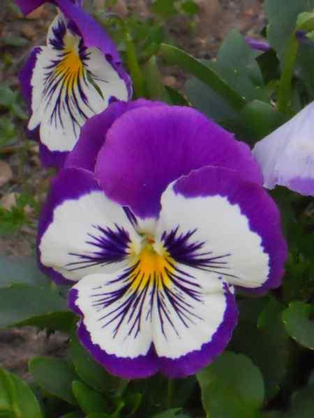 Viola x witrockiana v 1