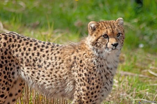Rufaa - Chester Zoo Cheetah Cub