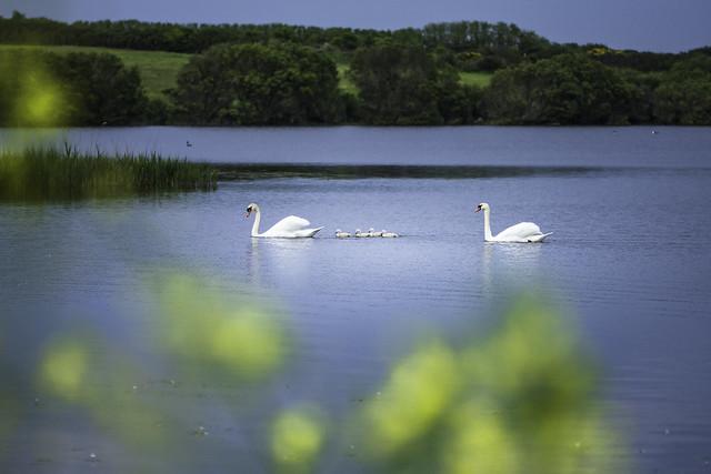 Babies swan