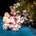 Harlequin Shrimp - Photo (c) Christian Gloor, some rights reserved (CC BY)
