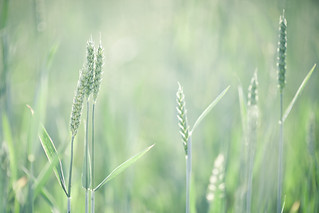 Green Wheat | by Philippe Put