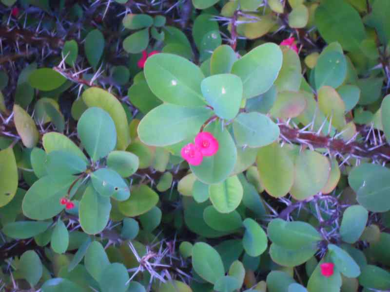 Euphorbia milii 2