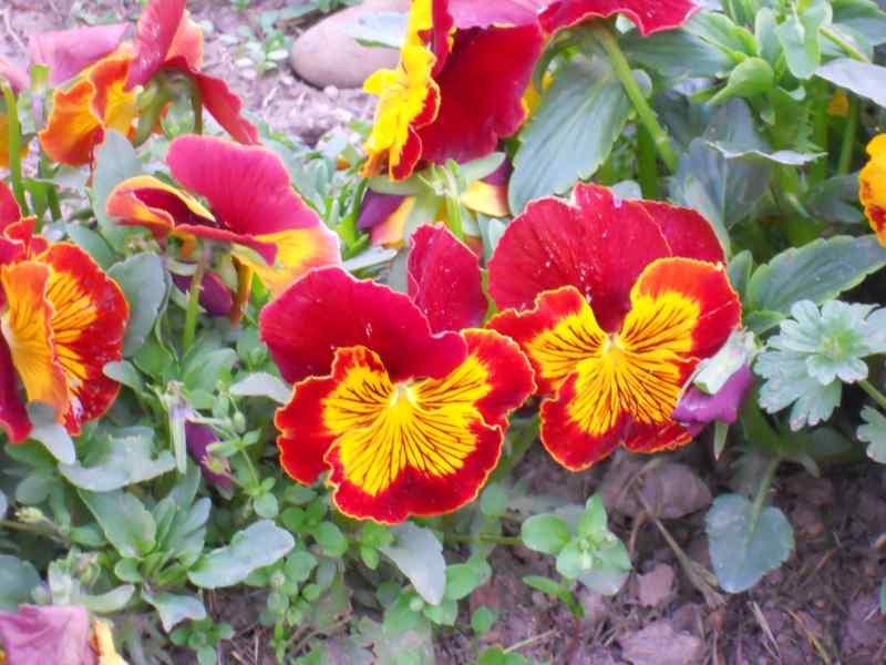 Viola x witrockiana 2