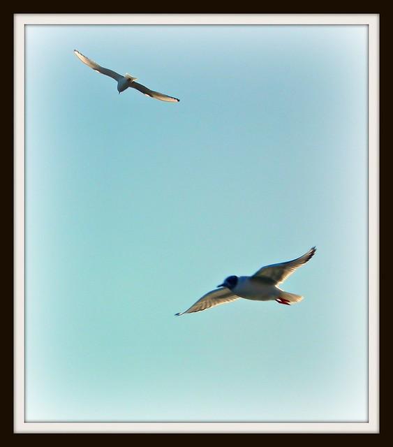 Gulls Buffalo, NY