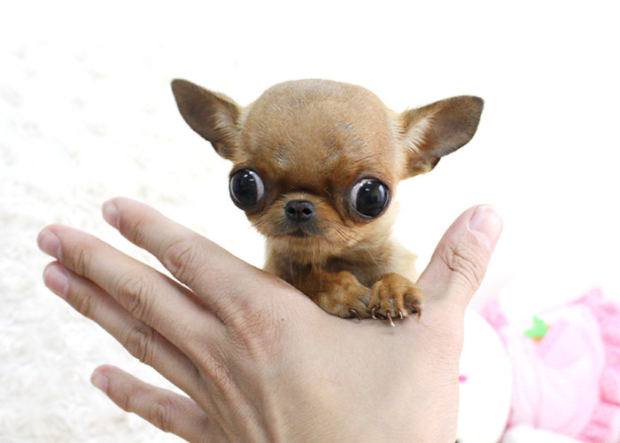 Chihuahua Micro Teacup Puppy | Boutique Teacup Puppies www b… | Flickr