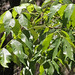 Pignut Hickory - Photo (c) Mary Keim, some rights reserved (CC BY-NC-SA)