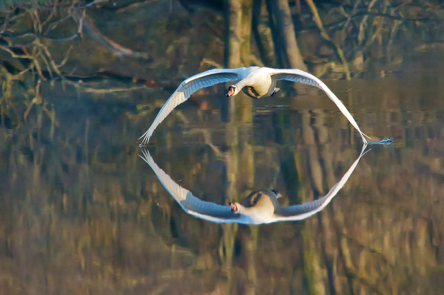 Swan ....   early morning flight and light