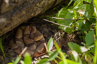 Agkistrodon contortrix contortrix (Southern Copperhead) | by Kyle L.E.